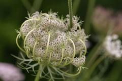 IMG_3515 Macro, Mallorca (Fernando Sa Rapita) Tags: canon canoneos eos6d mallorca sarapita sigma sigmalens macro naturaleza nature flower flor wild ngc