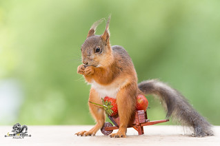 red squirrel on a wheelbarrow with a Strawberry