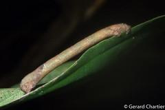 Inchworm Moth (Geometroidea) (GeeC) Tags: animalia arthropoda butterfliesmoths cambodia geometroidea inchwormmoths insecta kohkongprovince lepidoptera nature tatai
