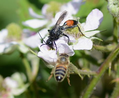 Wasp and bee (Alan Thornhill) Tags: podalonia cavenhamheath suffolk uk wasp bee affinis
