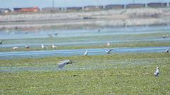 Great Blue Heron (Ardea herodias) & Glaucous-winged Gull (Larus glaucescens) (ekroc101) Tags: birds greatblueheron ardeaherodias bc tsawwassen tsatsushores glaucouswingedgull larusglaucescens