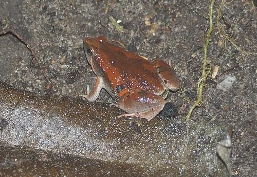 Ornate Chorus Frog, Microhyla fissipes