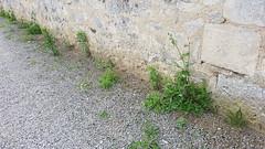 De l'herbe au pied des murs