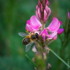 Abeilles et co (solennegau) Tags: insectes nikon d3400 nature fleurs montagne couleur couleurs animal macro insecte fleur plante abeille