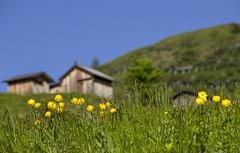 Ranuncoli (stgio) Tags: dolomiti montagna passofedaia ranuncoli fioritura estate landscape mountains