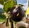 Homegrown Eggplant (Been Around) Tags: eggplantmelanzaniaubergine melanzani aubergine eggplant garden steyrling austria upperaustria oberösterreich austrian eu europe europa europeanunion gemüse homegrown vegetable vegetables