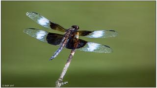 Widow Skimmer (adult male) dsc_0668