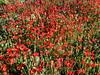 P1090431(4x3)-Papaver_rhoeas (MAMM Miguel Angel) Tags: flores amapolas papaver