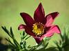 Pulsatilla Vulgaris (littlestschnauzer) Tags: pulsatilla vulgaris spring red crimson petals flower garden emley yorkshire alpine rockery uk unusual stamen