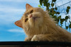 I'm on the table (FocusPocus Photography) Tags: linus katze kater cat chat gato tier animal haustier pet tisch table aussicht view himmel sky