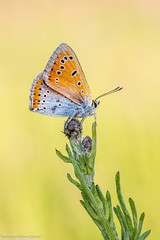 Großer Feuerfalter (AnBind) Tags: 2018 lycaenidae falter butterfly largecopper tagfalter groserfeuerfalter technik makro lycaenadispar schmettering ngc