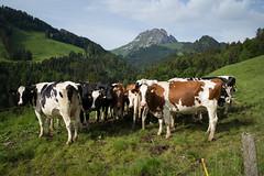 @Sentier des fromageries (Gruyères) (Toni_V) Tags: m2407961 rangefinder digitalrangefinder messsucher leicam leica mp typ240 type240 28mm elmaritm12828asph hiking wanderung randonnée escursione lemoléson gruyères gruyere greyerz kantonfribourg vache kühl cows animal landscape landschaft sentierdesfromageries switzerland schweiz suisse svizzera svizra europe ©toniv 2018 180526