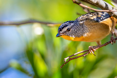 Spotted Pardalote (jan_clewett) Tags: spottedpardalote coobydam male macro spotted darlingdowns queensland australia closeup