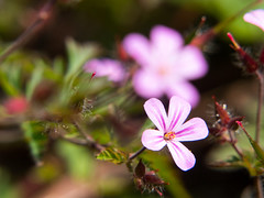 Garden Fowers (Andy Sut) Tags: flowers garden england uk nottingham plants nature macro petals