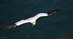 J78A3323 (M0JRA) Tags: birds flight flying wildlife rats walks gardens parks fields trees lakes ponds ducks swans rspb