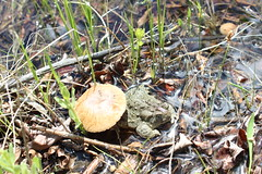 Toadstool Comfort - Wyoming Toad (USFWS Mountain Prairie) Tags: fws usfws usfishandwildlifeservice wyomingtoad toad wytoad anaxyrusbaxteri endangered endangeredspecies conservation recovery nature albanycounty safeharbor toadstool wetland amphibian