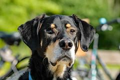 MINOS (K.Verhulst) Tags: minos dog hond huisdier pet coth5 ommoordseveld