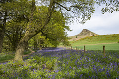 Bluebells at Roseberry Topping (Keartona) Tags: roseberrytopping northyorkmoors northyorkshire yorkshire england english landscape may bluebells hill sunny day