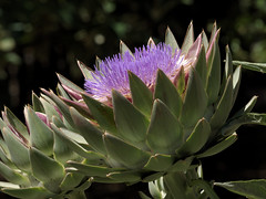 Artichoke bloom in the Sensory Patios at Tucson Botanical Gardens (Distraction Limited) Tags: cynaracardunculusvarscolymus cynaracardunculus cynarascolymus cynara artichokes flowers sensorypatios tucsonbotanicalgardens tucsonbotanical botanicalgardens gardens tucson arizona tbg20180531 explore