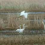 Egrets on the Marsh thumbnail