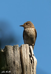 Spotted Flycatcher (johnthistle) Tags: sorrento italy handheld wood post bird wild spotted flycatcher