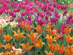 a lot of colors (VERUSHKA4) Tags: astoundingimage tulip color coloured orange green purple petal canon moscow russia europe city ville vue view botanicgarden may spring blossom springtime primavera flora fleur printempes beautiful