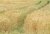 L'école buissonnière (Catherine Reznitchenko) Tags: nature normandie paysage landscape france champ field fineart fleurs couleurs colors campagne country flowers red yellow rouge jaune blés wheat traces chemin path green vert vegetation outdoors extérieur impression grass herbe coquelicot poppy saison season printemps spring jumièges