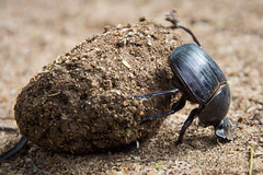 Dung Beetle I (Alex Voets) Tags: kenya tsavoeast dungbeetle insects