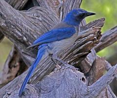 Woodhouse's Scrub Jay (1krispy1) Tags: corvids jays scrubjay woodhousesscrubjay texasbirds
