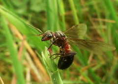 Giant Wood Ant Queen..x (Lisa@Lethen) Tags: giant wood ant queen nature wildlife macro wings