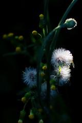 IMG_5422-3 (olivier.demoli) Tags: fleur jaune plume vent proxi flower