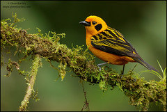 Golden Tanager (Tangara arthus) (Glenn Bartley - www.glennbartley.com) Tags: andes animal animalia animals aves avian bird birdwatching birds colombia glennbartley goldentanagertangaraarthus nature neotropical southamerica wildlife
