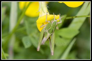 IMG_0034 Meadow Grasshopper