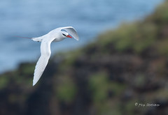 Elegant Flier 3 (Rick Derevan) Tags: phaethonrubricauda seabird tropicbird redtailedtropicbird kauai hawaii bif flight flying wings wingspread red kilaueapoint pacific pacificocean