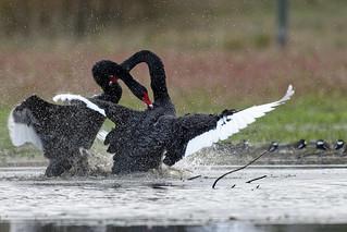 Black Swan Lake 5