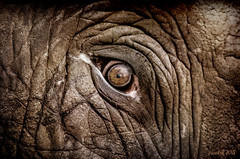 ElephantEye (clabudak) Tags: elephant eye