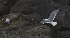 Lucy, I'm Home! (Stew_Bayarea) Tags: seagulls depoebay oregon coastline