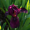 20180525-_DSC4355.jpg (kjbax) Tags: flowers iris