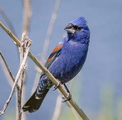 Blue Grosbeak (tresed47) Tags: 2016 201605may 20180524bombayhookbirds birds bluegrosbeak bombayhook canon7d content delaware folder grosbeak may peterscamera petersphotos places season spring takenby us ngc