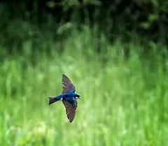 Mosquito Vacuum (Portraying Life, LLC) Tags: dbg6 da3004 hd14tc k1mkii michigan pentax ricoh unitedstates bird closecrop handheld nativelighting swallow inflight