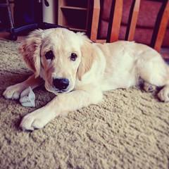 Cute Pup (Kol Tregaskes) Tags: koltphotography photo photography photooftheday pic picoftheday picture pictureoftheday