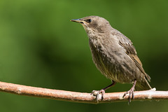 Star - Starling (juv.) (rengawfalo) Tags: juvenil bird birding birder sturnusvulgaris star starling vogel vögel natur nature wildlife animal outdoor wood