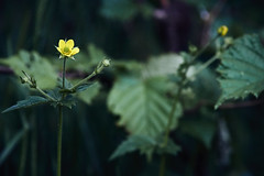 flower (Jos Mecklenfeld) Tags: nulbos westerwolde forest bos wald nature natur natuur sonya6000 sonyilce6000 minoltamdzoom75200f45 minoltamdzoom75200 minoltamdzoom75200mmf45 minolta minoltalens minoltamd terapel groningen netherlands nl flower blumen bloemen