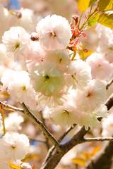 More Sakura Blossoms (Rackelh) Tags: blossoms sakura flowers cherry cherryblossoms nature spring marco bright