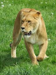 IMG_0151 (duncansmith50) Tags: yorkshirewildlifepark lions polar bears black rhino tigers giraffes doncaster