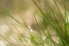 Rebirth of nature (grus_p) Tags: sunlight spring grass growth green rebirth light may macro closeup nature tranquillity beautyofnature beautyofcalmness luminanceboréale finland