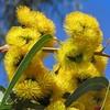 Eucalyptus erythrocorys (Oriolus84) Tags: eucalyptuserythrocorys eucalyptus myrtaceae illyarrie redcappedgum tree gumtree paradise adelaide southaustralia australia native plant yellow yellowflowers
