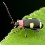 Flea beetle, Omophoita sp., Chrysomelidae thumbnail