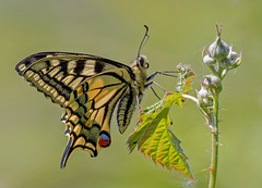 DSC6598  Swallowtail... (jefflack Wildlife&Nature) Tags: swallowtail butterfly butterflies lepidoptera wetlands marshland marshes glades copse nature norfolk nectaring insects insect