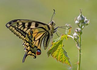 DSC6598  Swallowtail...
